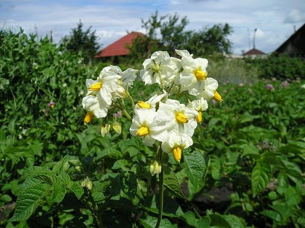 Eine Kartoffelpflanze