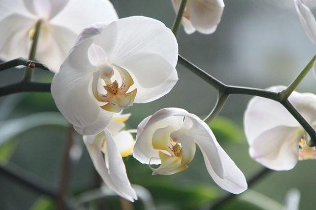 Durch die kalte Jahreszeit: So überstehen Orchideen den Winter