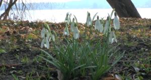 Schneeglöckchen: Ein Blütenwunder im Januar