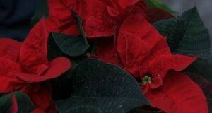 Floraler Dezembertipp: Weihnachtsstern