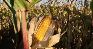 Agrarwirtschaft: So gelingt die Maisaussaat