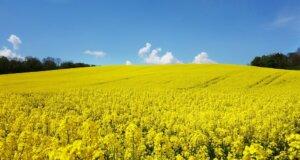 Landwirtschaft: Einblicke in den Rapsanbau