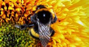 Studie belegt: Pflanzen können Bienen hören