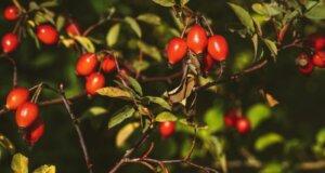 Vitaminbombe Hagebutte: Fit durch Herbst und Winter